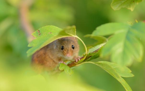 Фото обои лето, природа, Harvest Mouse