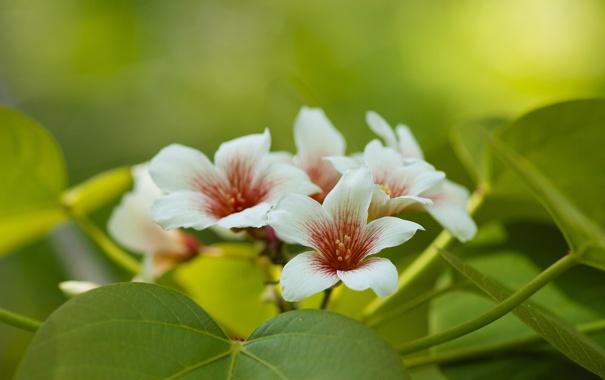 Фото обои листья, макро, цветение, Китайское тунговое дерево