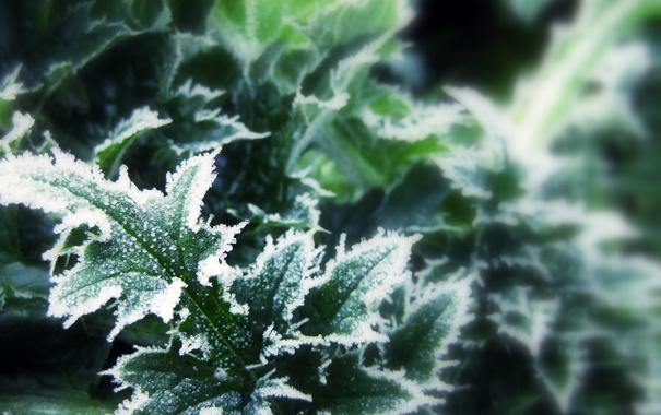 Фото обои зима, листья, макро, снег, фокус