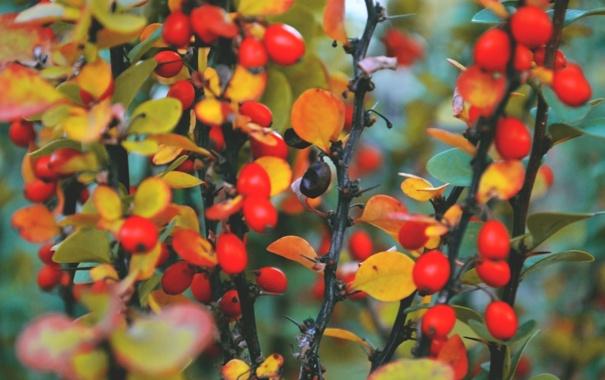 Фото обои осень, макро, оранжевый, красный, ягоды, краски, крирода