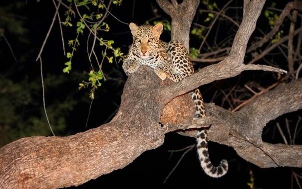 Фото обои взгляд, ночь, дерево, хищник, леопард, котёнок