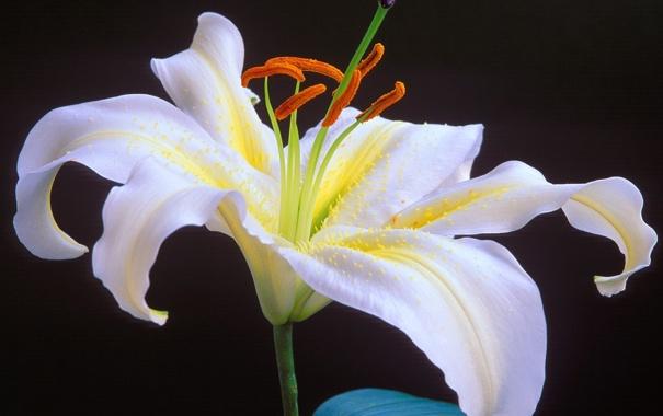 Фото обои белый, цветок, черный фон, Oriental Lily