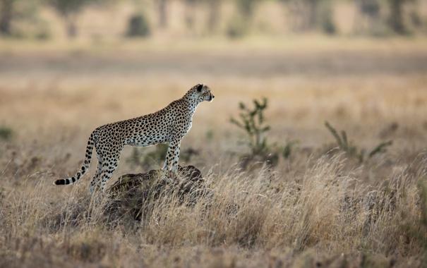 Фото обои кошка, хищник, гепард, саванна, африка