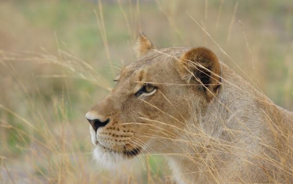 Фото обои кошка, природа, хищник, львица, Botswana