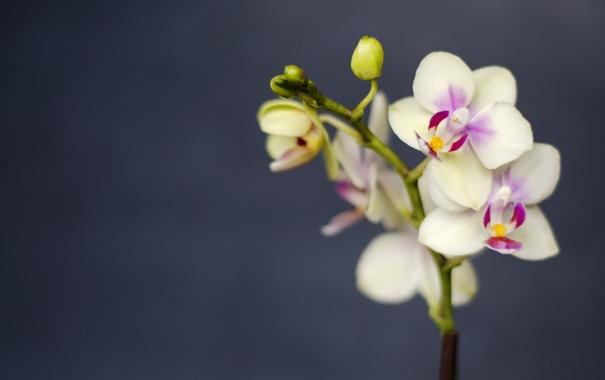 Фото обои макро, цветы, ветка, лепестки, орхидеи