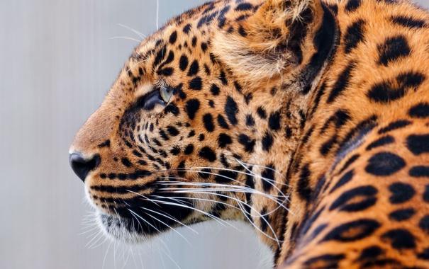 Фото обои взгляд, хищник, леопард, раскраска