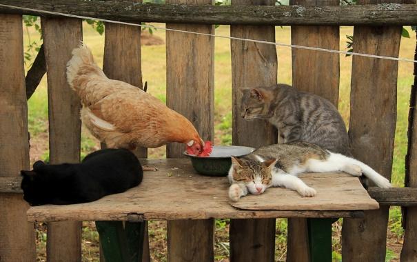 Фото обои кошки, забор, курица