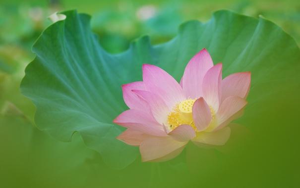 Фото обои лист, розовый, размытость, лотос