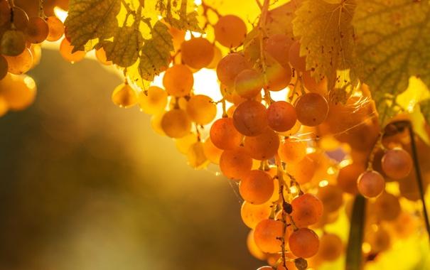 Фото обои листья, свет, виноград, лоза, паутинка