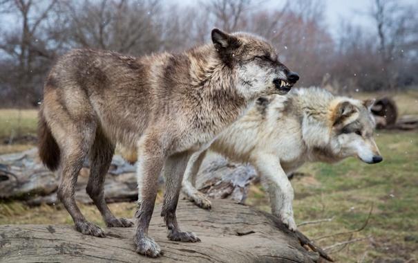Фото обои снег, поза, хищники, пара, клыки, оскал, волки