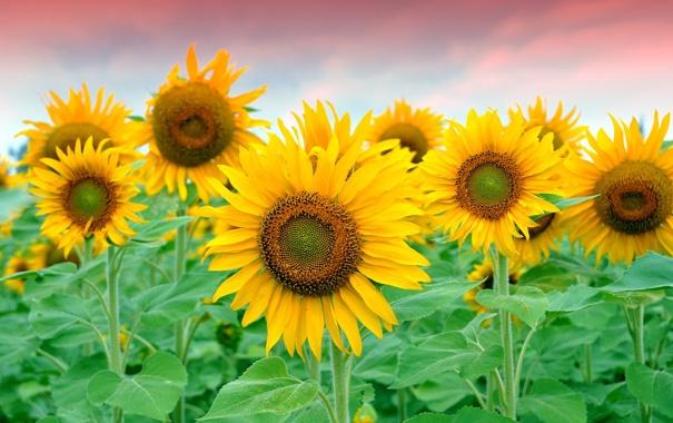 Фото обои поле, подсолнухи, желтые, лепестки