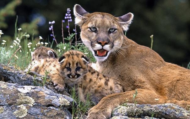 Фото обои кошка, трава, камни, котята, пума, дикая, детёнышы