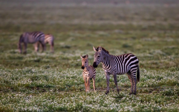 Фото обои цветы, детёныш, зебры