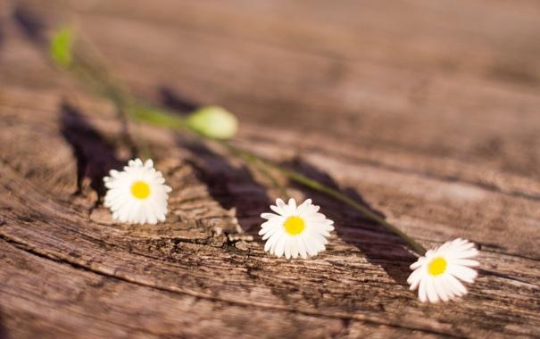Фото обои солнце, макро, цветы, ромашки, тень