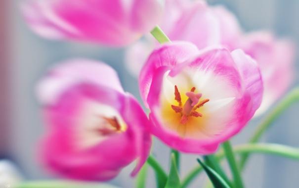 Фото обои макро, цветы, тюльпаны