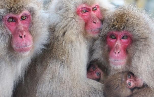 Фото обои взгляд, природа, обезьяны