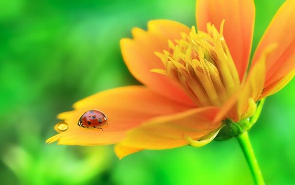Фото обои цветок, макро, капля, божья коровка, лепестки, насекомое
