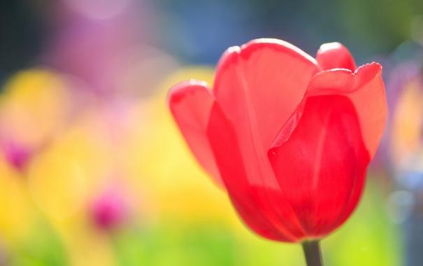 Фото обои макро, цветы, тюльпан