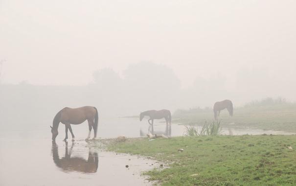 Фото обои вода, Туман, лошади