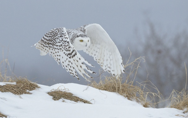 Фото обои зима, сова, белая, полярная