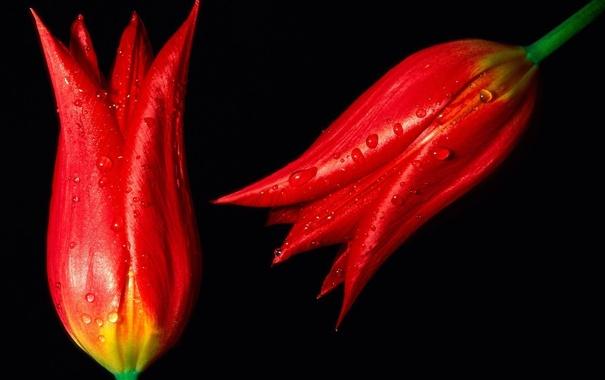 Фото обои капли, цветы, бутоны, Red Hot Tulips