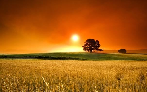 Фото обои пшеница, поле, трава, деревья, фото, дерево, пейзажи