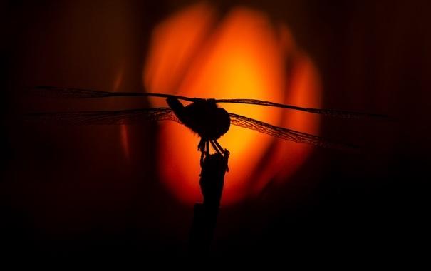 Фото обои солнце, макро, закат, природа, крылья, стрекоза, силуэт