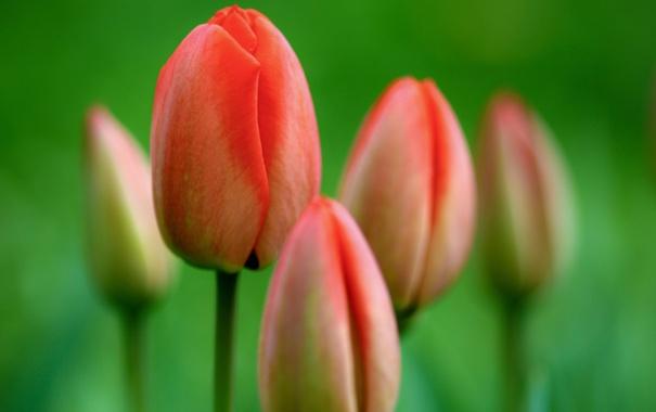 Фото обои цветы, природа, фото, тюльпаны, красивые обои, full hd
