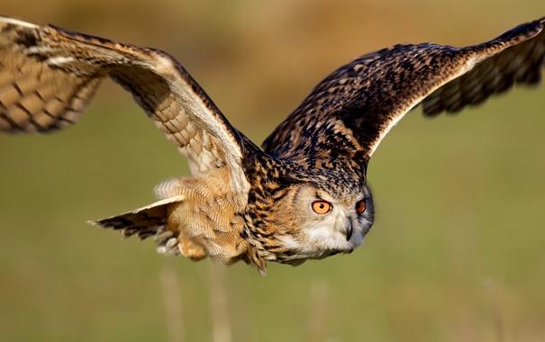 Фото обои сова, птица, крылья, полёт