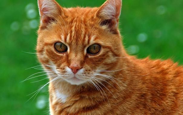 Фото обои зелень, трава, кот, морда, рыжий, котэ