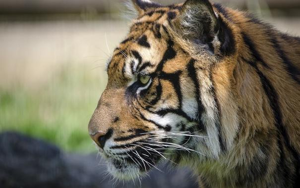 Фото обои морда, тигр, хищник, профиль, дикая кошка