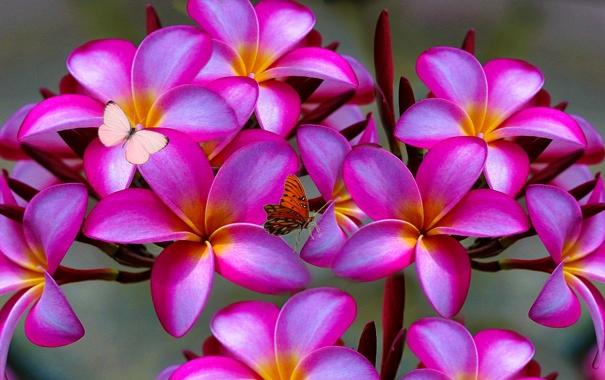 Фото обои цветы, природа, дерево, бабочка, лепестки, мотылек, плюмерия
