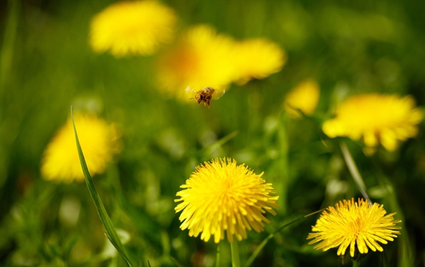 Фото обои макро, цветы, природа, растения, травка, одуванчики
