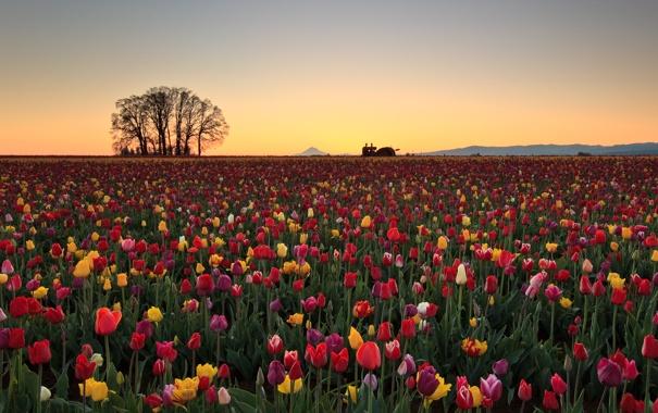 Фото обои поле, утро, тюлпаны