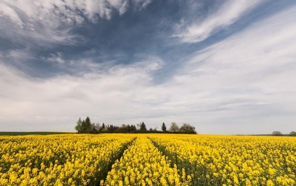 Фото обои поле, лето, пейзаж, природа, рапс
