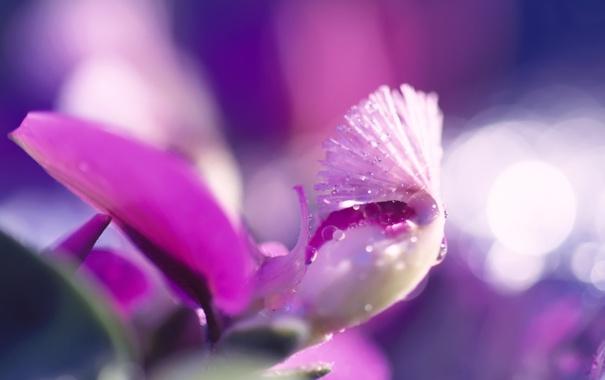Фото обои цветок, капли, макро, сиреневый, розовый, лиловый