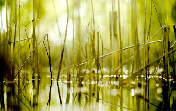 Фото обои болото, боке, камыш