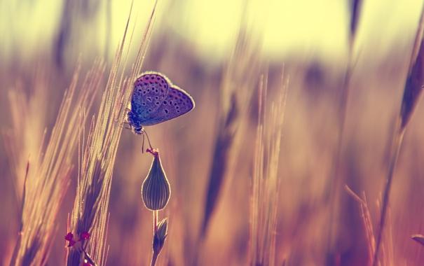 Фото обои бабочка, бутон, колоски, боке