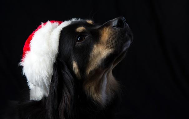 Фото обои морда, новый год, пес, Санта Клаус, колпак