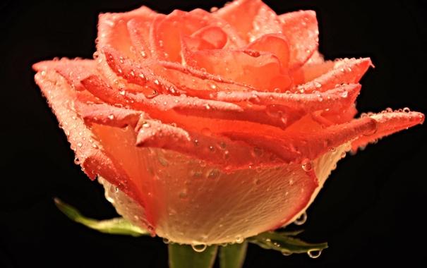 Фото обои цветок, вода, капли, роса, роза, лепестки