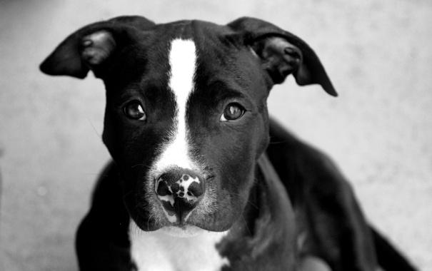 Фото обои взгляд, друг, собака, черная