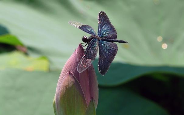 Фото обои цветок, природа, крылья, стрекоза, насекомое