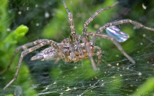 Фото обои капли, макро, блеск, паутина, паук