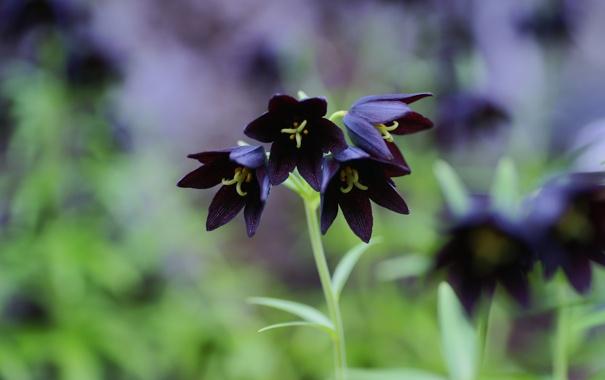 Фото обои цветок, темная, колокольчики, Chocolate Lily, зелень, лилия