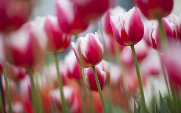 Фото обои фокус, весна, тюльпаны, цветение, бело-розовые