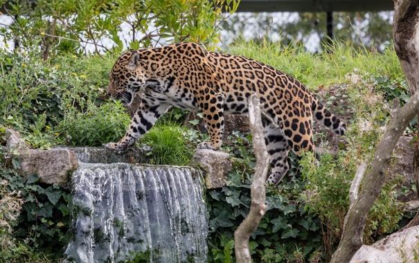 Фото обои заросли, водопад, хищник, пятна, ягуар, прогулка, дикая кошка