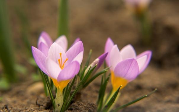 Фото обои цветок, трава, макро, природа, розовый, земля, весна