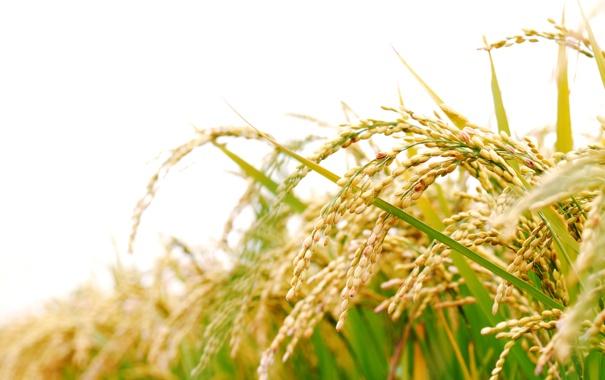 Фото обои трава, колосья, боке