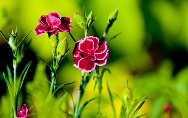 Фото обои цветы, яркие, гвоздики