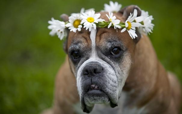 Фото обои взгляд, цветы, друг, собака